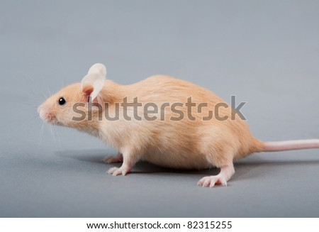 yellow laboratory mouse isolated on grey background - stock photo