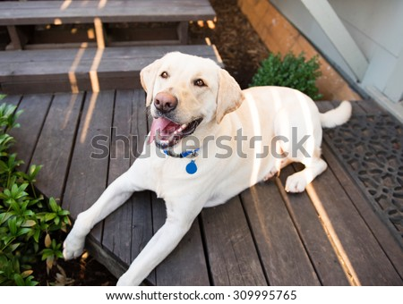 Yellow Labrador Dog Cooling Down in Shade on Hot Summer Day - stock photo