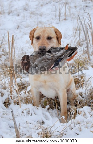 Yellow Labrador holding a duck