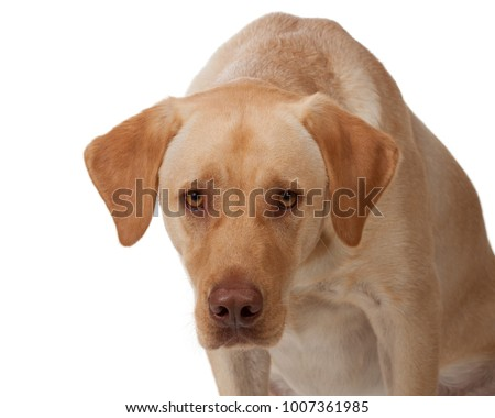 yellow labrador leans forward and stares directly into camera; dudley labrador; brown pink nose; yellow eyes; white background