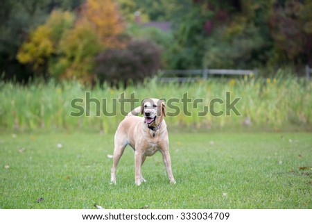 Yellow Labrador playing in a field
