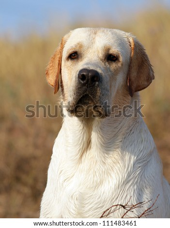 yellow labrador portrait in summer in the field