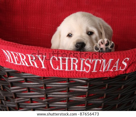 Yellow labrador puppy in a red Christmas basket. - stock photo