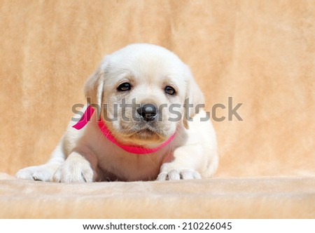 yellow labrador puppy laying on yellow background close up