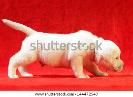 yellow labrador puppy on the red background