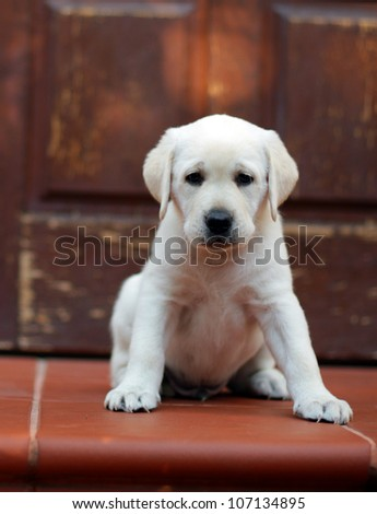 yellow labrador puppy sitting at the red door