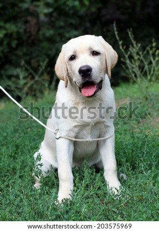 yellow labrador puppy sitting on the grass close up