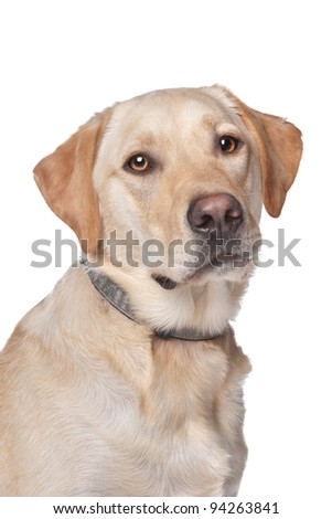 Yellow Labrador Retriever dog in front of a white background - stock photo