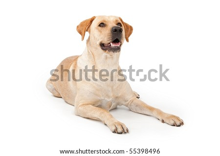 Yellow Labrador Retriever dog laying down and looking up, isolated on white