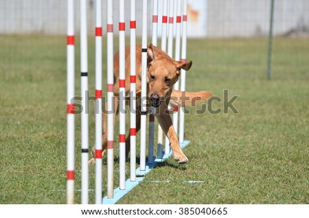 Yellow Labrador Retriever Doing Weave Poles at Dog Agility Trial - stock photo
