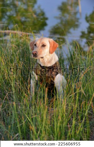 Yellow Labrador Retriever Hunting Dog - stock photo