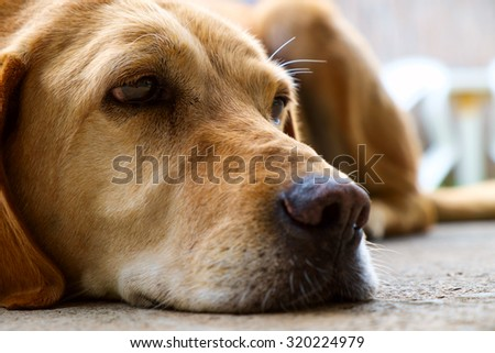 Yellow labrador retriever is lying in outdoor - selective focus - stock photo