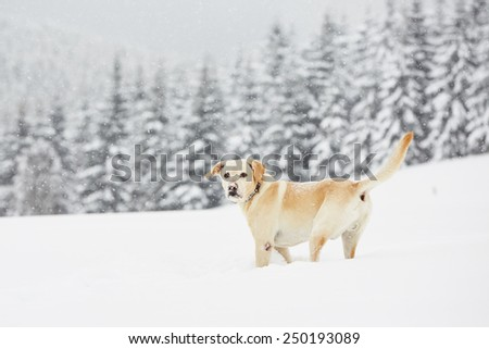 Yellow labrador retriever is playing in wintry landscape