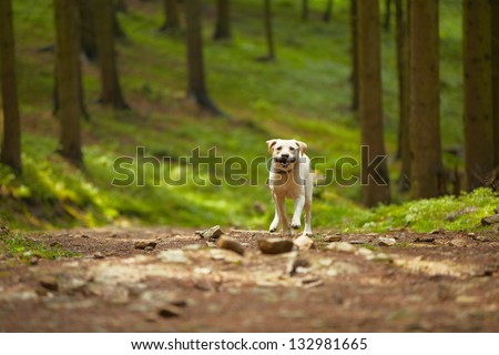 Yellow labrador retriever is running in the forest. - stock photo