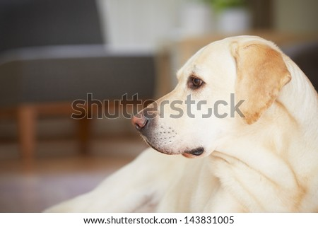 Yellow labrador retriever is waiting at home. - stock photo