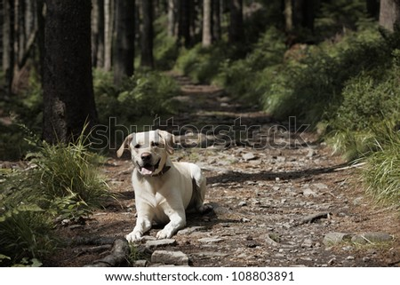 Yellow labrador retriever is waiting in deep forest. - stock photo