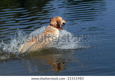 Yellow labrador retriever jumping into water, fast speed shot - stock photo