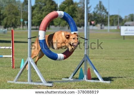 Yellow Labrador Retriever Jumping Through a Tire at Dog Agility Trial - stock photo