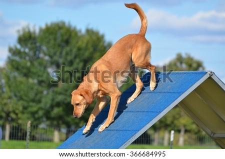 Yellow Labrador Retriever on an A-frame at Dog Agility Trial - stock photo