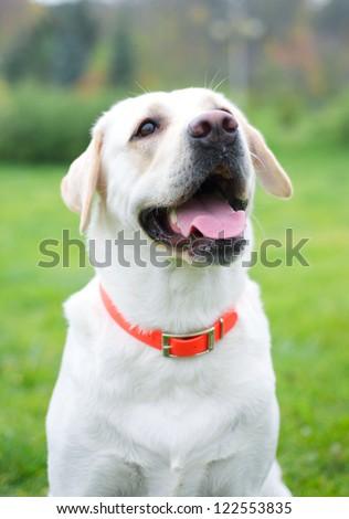 Yellow labrador retriever on green grass lawn - stock photo