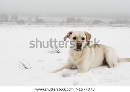 Yellow labrador retriever on snowy field. - stock photo