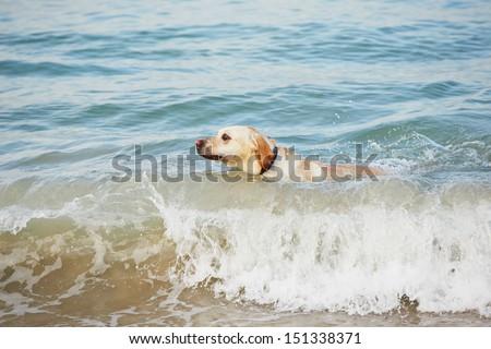 Yellow labrador retriever on the beach. - stock photo