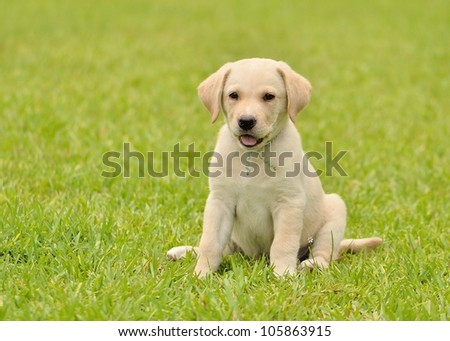 Yellow Labrador Retriever Outside - stock photo
