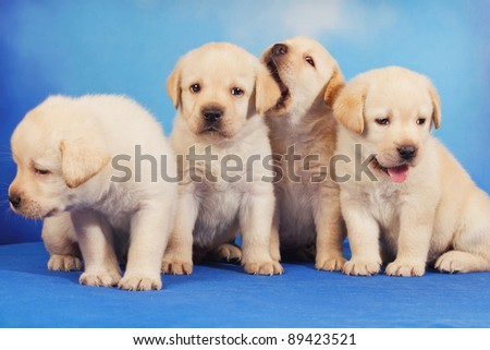 Yellow labrador retriever puppies on blue background - stock photo
