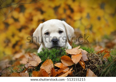 Yellow Labrador retriever puppy in autumn scenery