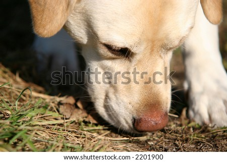 Yellow Labrador retriever sniffing the ground - stock photo