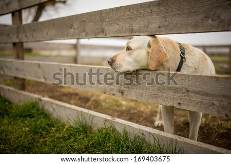 Yellow labrador retriever waiting behind wooden fence - stock photo