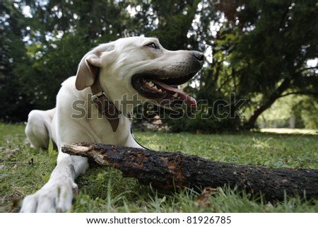 Yellow labrador retriever with stick. - stock photo