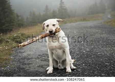 Yellow labrador retriever with stick - selective focus - stock photo