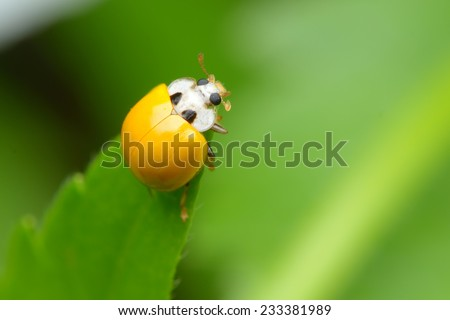 yellow ladybug without spots - stock photo