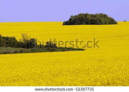 yellow landscape with rapeseed field