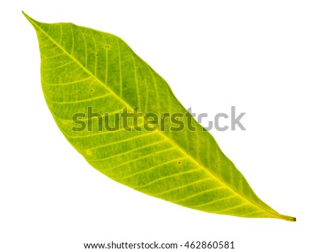 Yellow leaf closeup with isolated background