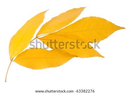 Yellow leaf isolated on white background - stock photo