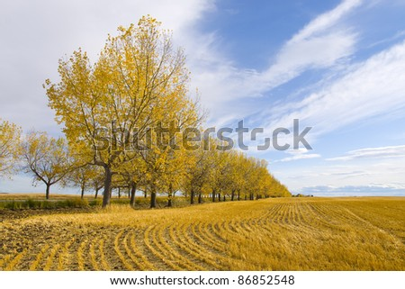 Yellow leaf trees in a Canadian wheat field. Autumn Season - stock photo