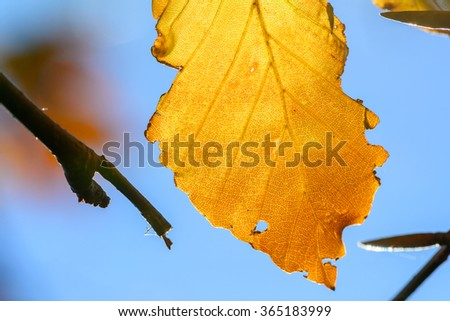 Yellow leaf with tiny twigs in sunlight. Background with autumn leaf, photo of sunlight through fresh tree leaf natural background, yellow autumnal foliage border, trees in the fall and bright sun - stock photo