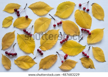 Yellow leaves and small apples rennet on white board