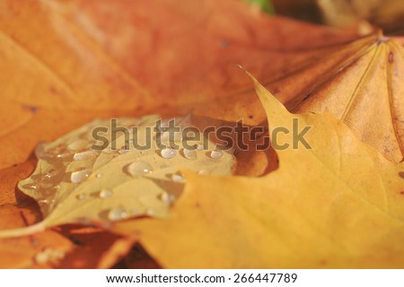 Yellow leaves at autumn forest