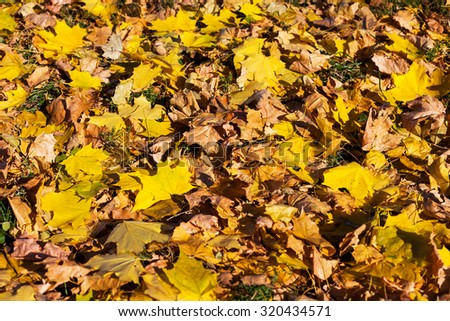 Yellow leaves from maple, background - stock photo