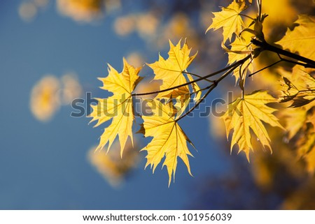 Yellow leaves in autumn sunny morning on blue sky background - stock photo
