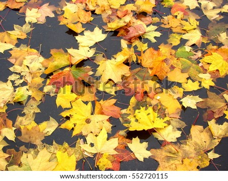 Yellow leaves in the fall in a puddle
