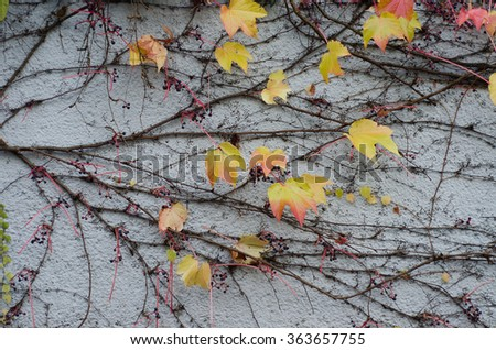 Yellow leaves of wild grapes on gray wall. Autumn background - stock photo