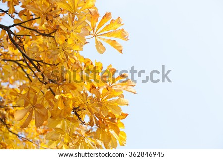 Yellow Leaves on an Oak Tree Branch in Sunlight with Azure Background and Copy space - stock photo