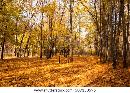 Yellow leaves on the trees in the beautiful autumn forest.