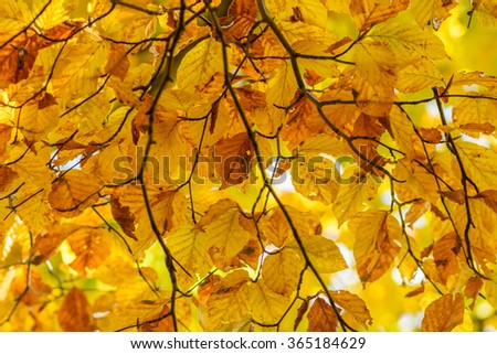 Yellow leaves with tiny twig over sunlight. Background with autumn leaves , photo of sunlight through fresh tree leaves, natural background, orange autumnal foliage border, trees in bright sun - stock photo