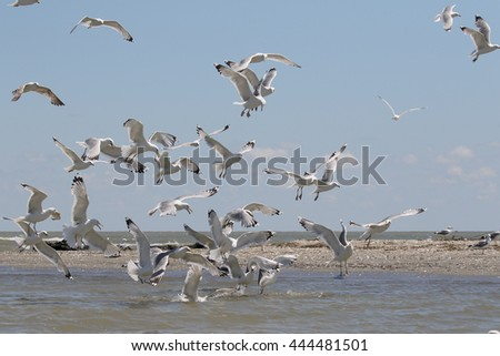 Yellow-legged gull, Larus michahellis, group in flight, Romania, June 2016