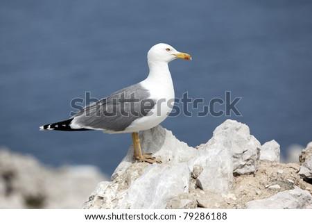 Yellow legged sea gull standing on a rock - stock photo
